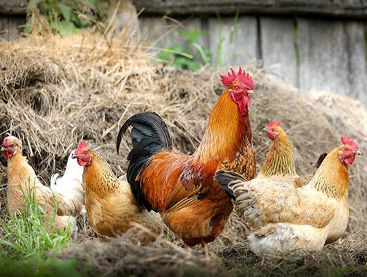 gallinas semi-libertad